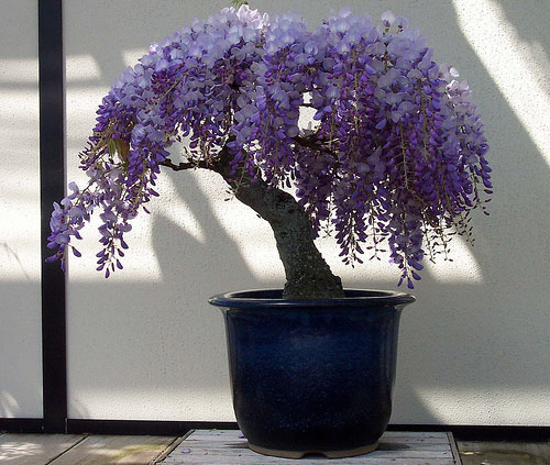 Wisteria Also Spelled Wistaria Is A Genus Of Flowering